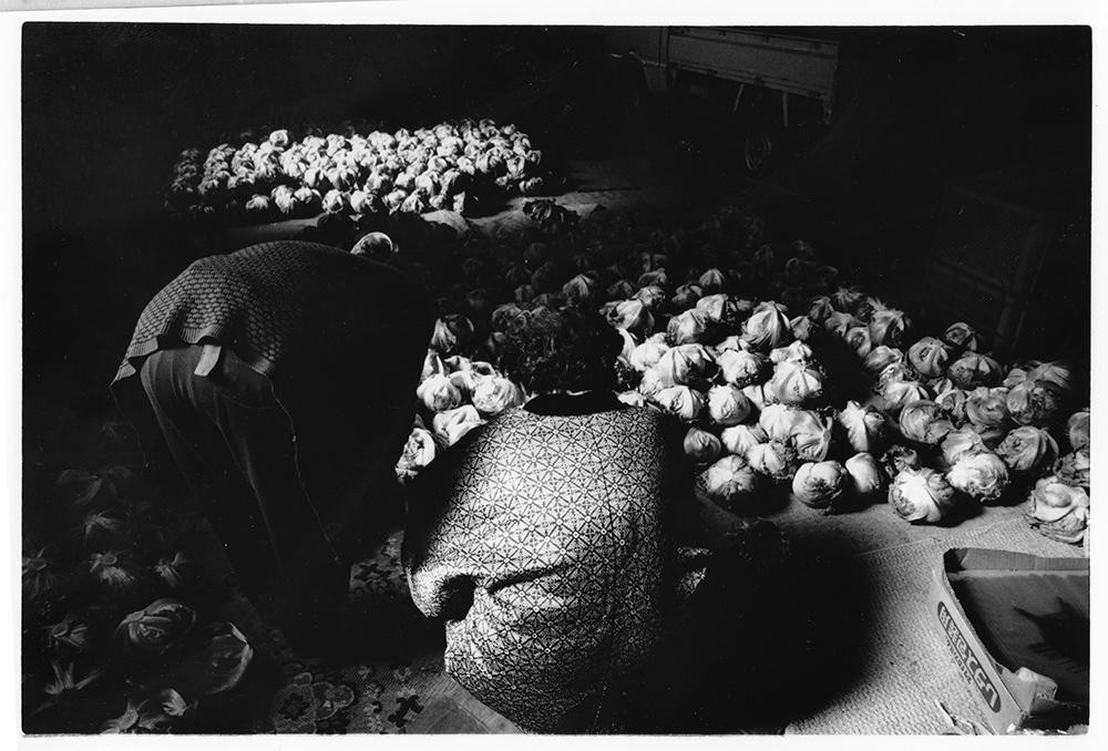 レタスの生産農家の朝、けさの出来具合は、と見る。前日にとり入れたレタスは、これから化粧なおしが始まる